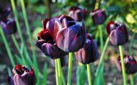 Queen Of The Night Tulip 38 Background