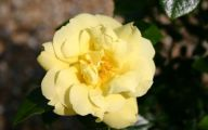 Rose Flower Carpet Yellow  11 Background
