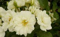 Rose Flower Carpet Yellow  18 Widescreen Wallpaper