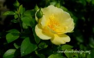 Rose Flower Carpet Yellow  37 Free Wallpaper