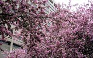 Tree With Pink Flowers  10 Desktop Wallpaper