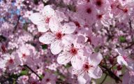 Tree With Pink Flowers  19 Wide Wallpaper