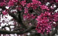 Tree With Pink Flowers  3 High Resolution Wallpaper