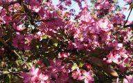 Tree With Pink Flowers  5 Cool Hd Wallpaper