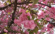 Tree With Pink Flowers  9 Free Hd Wallpaper