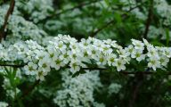 White Flowers Download  17 Hd Wallpaper