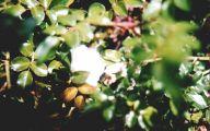 White Rose Flower Essence  10 Background Wallpaper