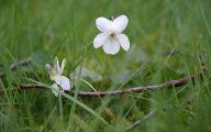 White Rose Flower Essence  15 Free Wallpaper