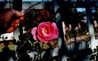 White Rose Flower Essence  19 Hd Wallpaper