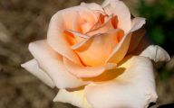 White Rose Flower Essence  21 Wide Wallpaper