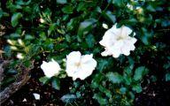 White Rose Flower Essence  4 Hd Wallpaper
