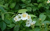 White Rose Flower Essence  5 Desktop Background