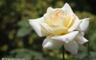White Rose Flower Images  10 Cool Hd Wallpaper