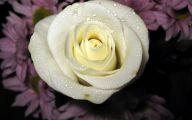 White Rose Flower Images  13 Free Hd Wallpaper