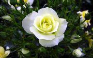 White Rose Flower Images  14 Desktop Background