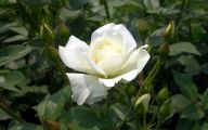 White Rose Flower Images  18 High Resolution Wallpaper