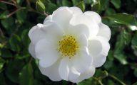 White Rose Flower Images  9 Desktop Background