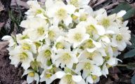 White Rose Flower Wiki  8 Wide Wallpaper