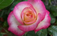 White Rose Like Flower  13 Desktop Wallpaper