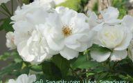 White Rose Like Flower  15 High Resolution Wallpaper