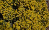 Yellow Flower Bush  10 Wide Wallpaper