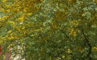 Yellow Flowering Trees  1 Background Wallpaper