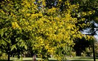 Yellow Flowering Trees  3 Wide Wallpaper