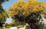 Yellow Flowering Trees  4 Hd Wallpaper