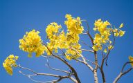 Yellow Flowering Trees  6 Cool Wallpaper