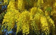 Yellow Flowering Trees  9 Desktop Wallpaper