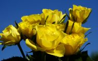 Yellow Rose Flower  23 Wide Wallpaper