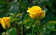 Yellow Rose Flowers Images  3 Cool Hd Wallpaper
