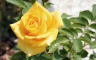 Yellow Rose Flowers Images  4 Free Hd Wallpaper