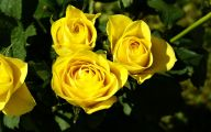 Yellow Rose Flowers Images  5 Desktop Background