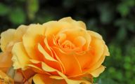 Yellow Rose Flowers Images  7 Background Wallpaper