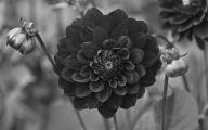 Black Flowers For Sale 21 Desktop Background
