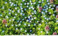 Blue Flowers In Spring 17 Wide Wallpaper