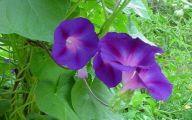 Purple Flowers In Vine 23 Wide Wallpaper
