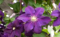 Purple Flowers In Vine 24 Background Wallpaper