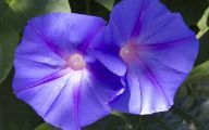 Purple Flowers In Vine 6 Free Wallpaper