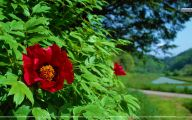Red Flowers In May 6 Widescreen Wallpaper