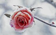 Winter Flower 15 Wide Wallpaper