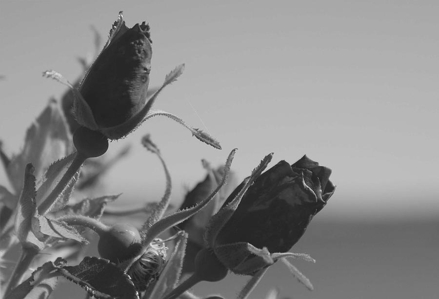 Black Roses For Sale 28 Free Hd Wallpaper