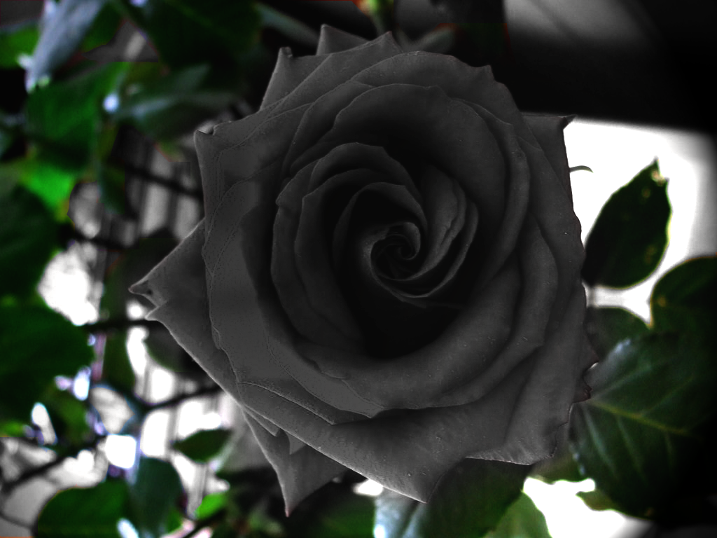 Black Roses For Sale 33 Widescreen Wallpaper
