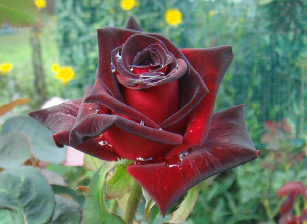 Black Roses For Sale 5 Cool Hd Wallpaper