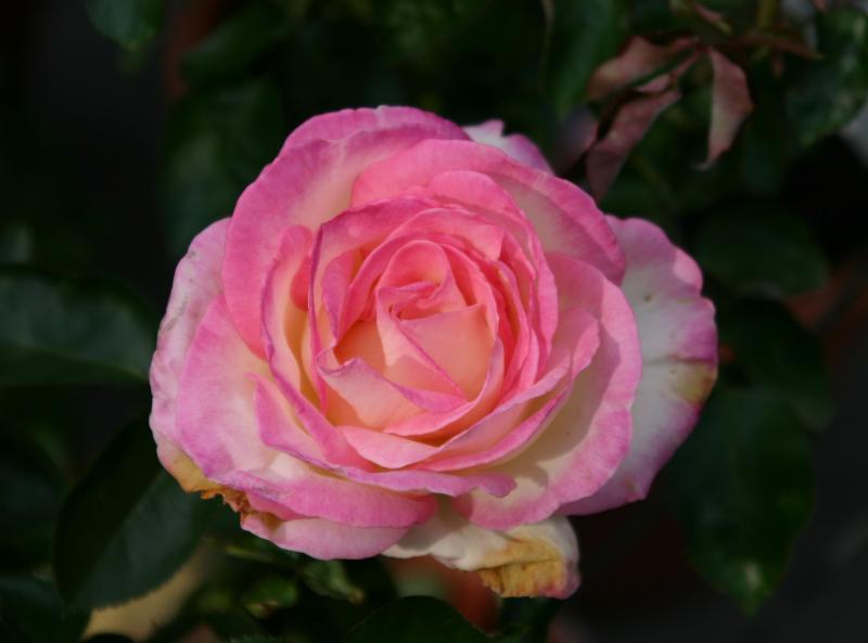 Black Roses For Sale 9 Desktop Wallpaper