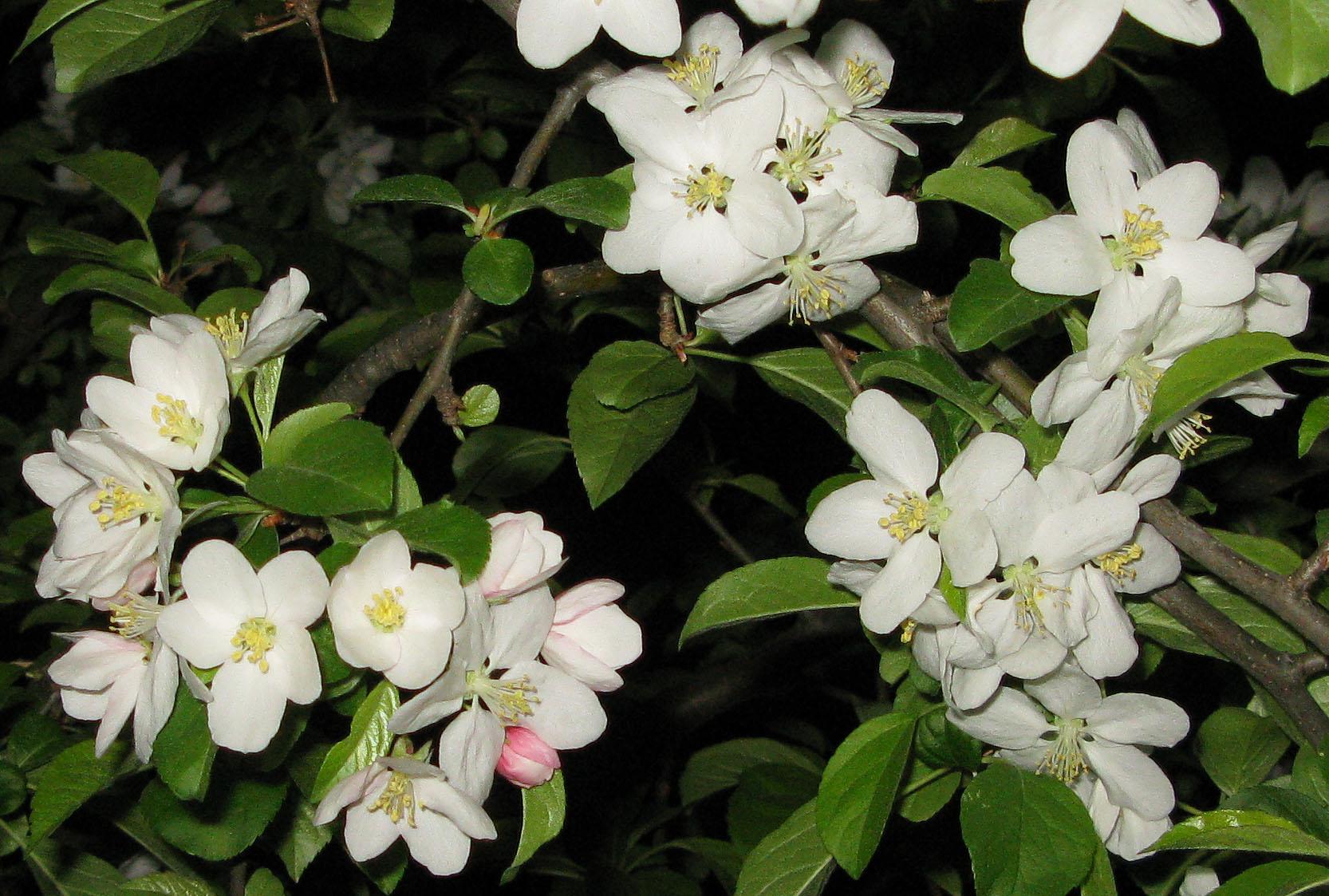 Blooming White Flowers 15 Cool Hd Wallpaper Hdflowerwallpaper