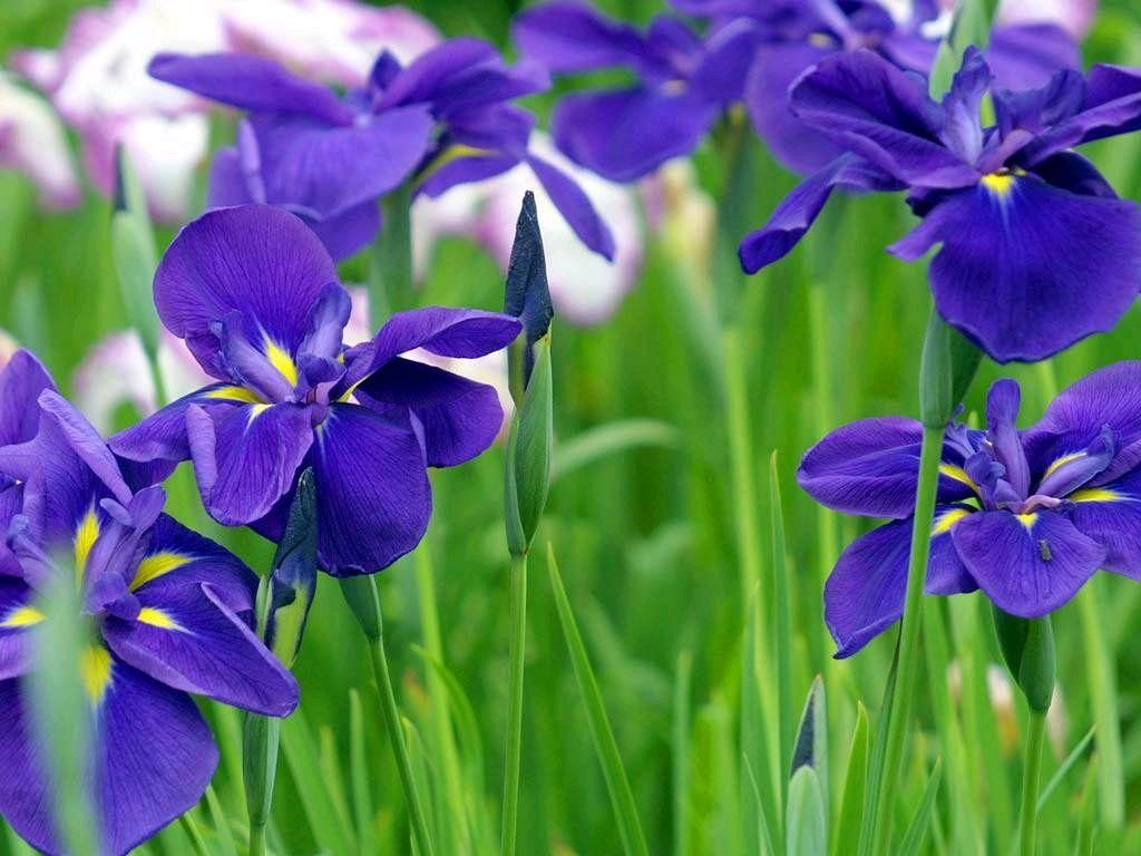 Blue flowers meaning 18 background hdflowerwallpaper blue flowers meaning 18 background izmirmasajfo