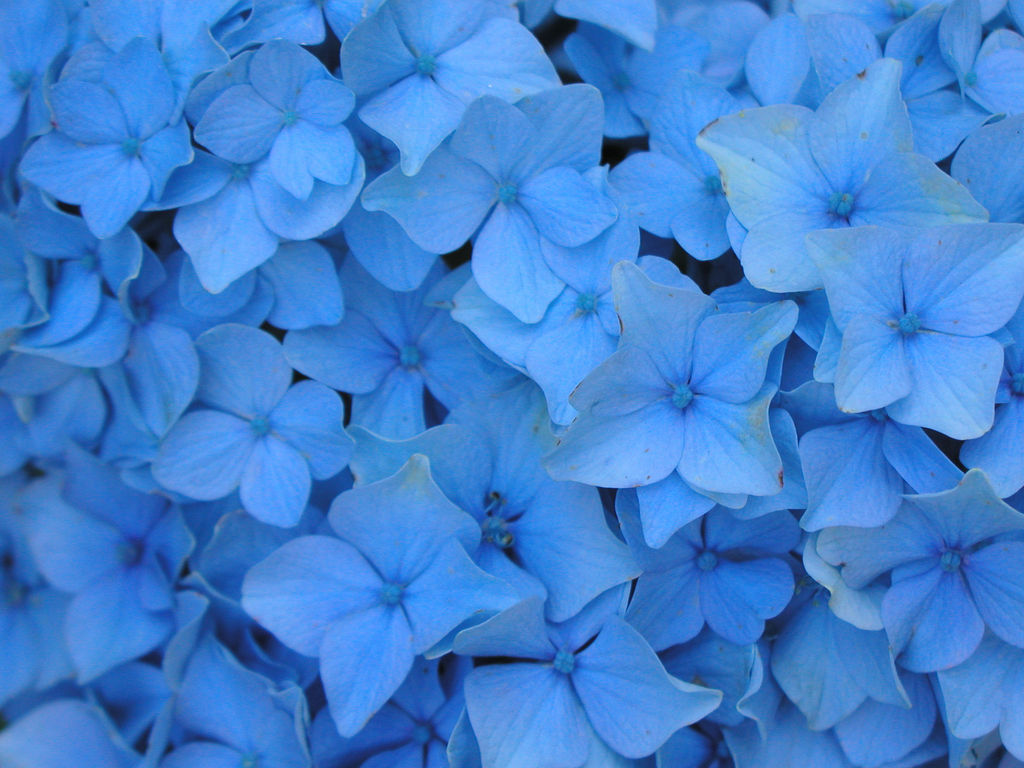 Blue Flowers Meaning 24 Cool Hd Wallpaper
