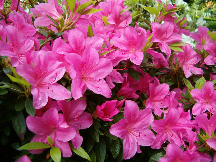 Common Pink Flowers 29 Free Hd Wallpaper